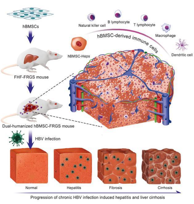 世界首个高仿真乙肝病毒致人肝硬化小鼠模型诞生