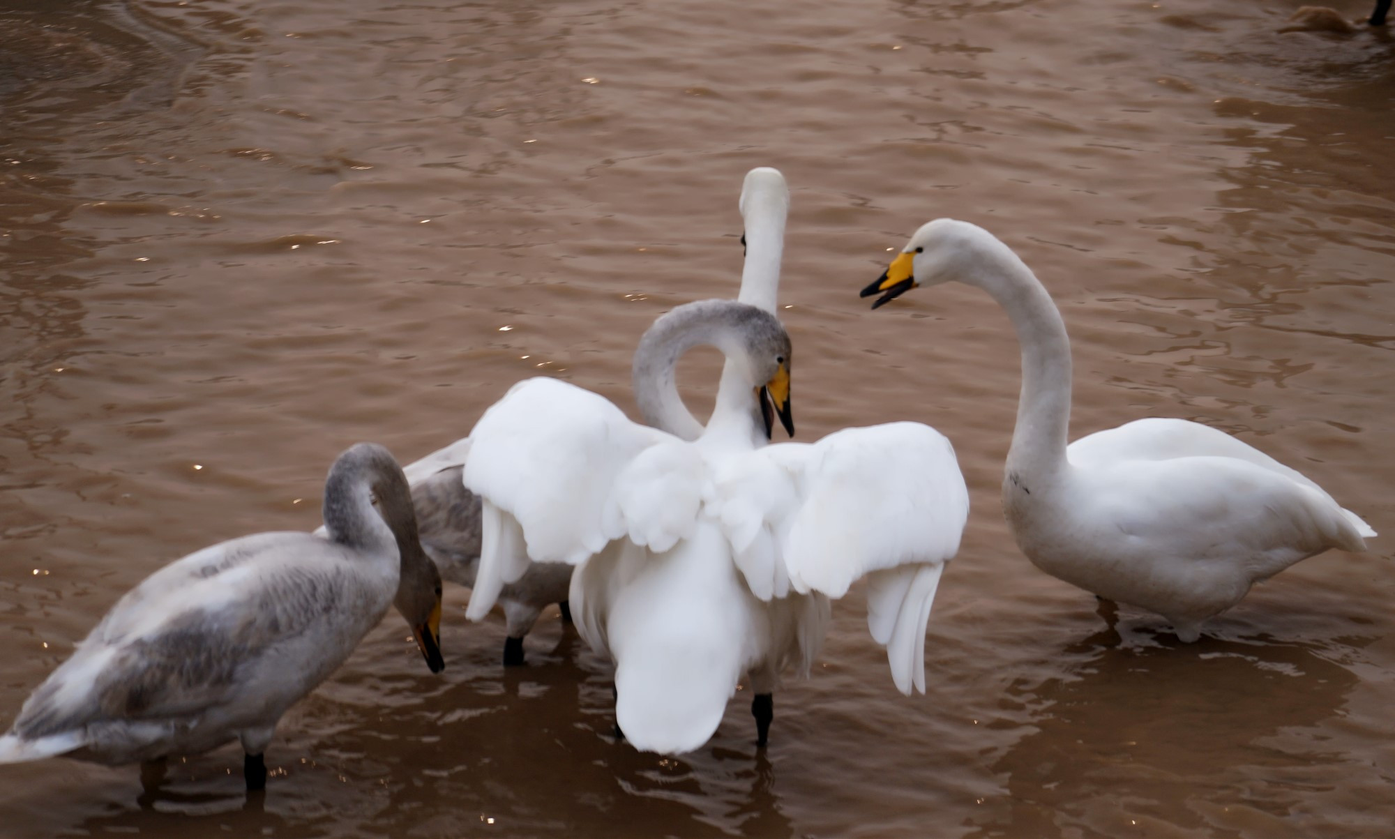 上万只野天鹅落脚三门峡天鹅湖,免费让游人欣赏