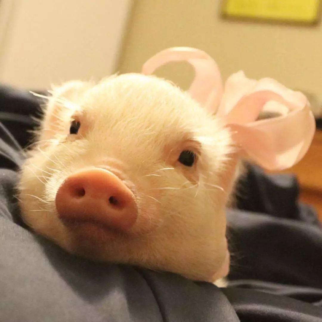 猪的表情包搞笑