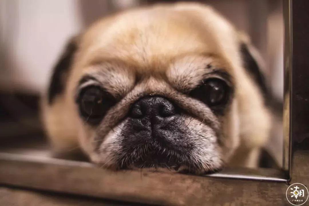 在广州,月薪5千,存款为0,却义无反顾地养了条狗!(图7)