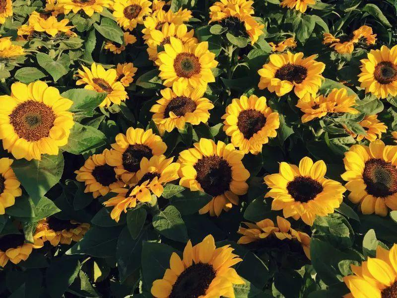 勤劳的小蜜蜂也飞到花丛中图片
