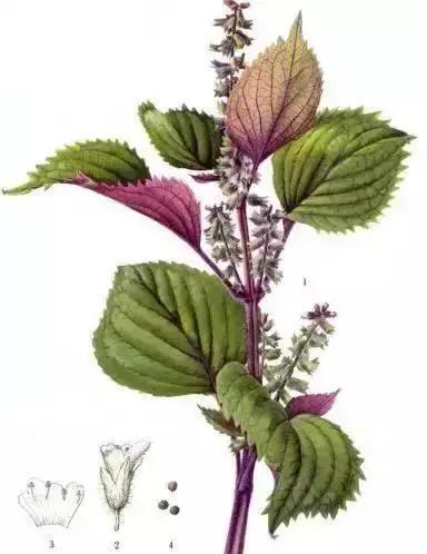 紫苏的食疗作用