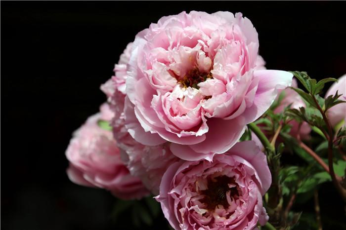 佛山安居网-佛山盈香生态园举办牡丹花展,迎来许多蜜蜂倚红妆