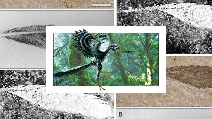 新技术指出仅有的始祖鸟原始羽毛标本或不属于始祖鸟
