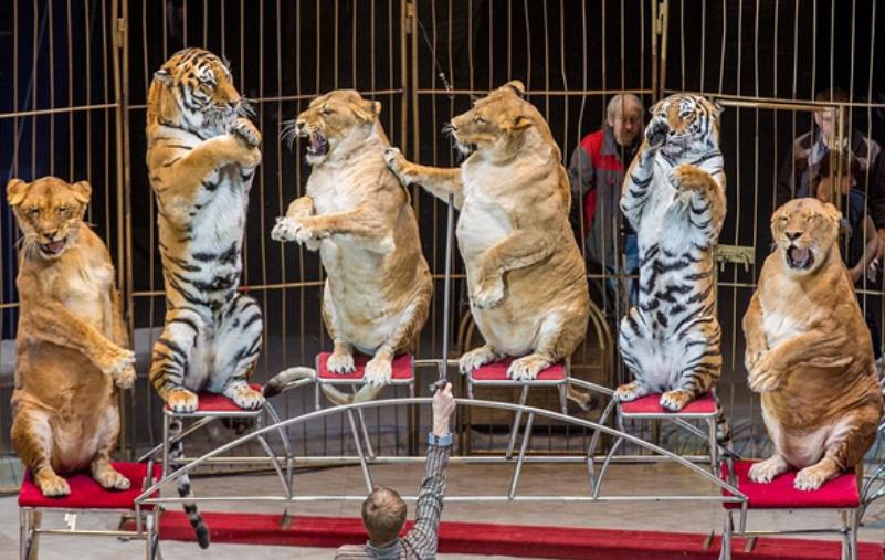 国家禁止私自养老虎,那马戏团的老虎哪里来的?今天才知道