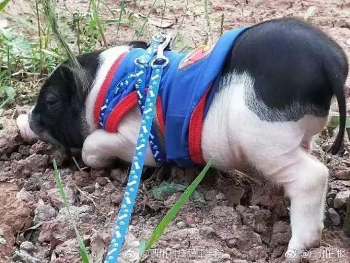 最骚的骚猪_有蹄类动物图片