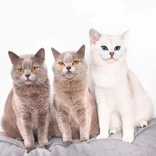 三只超要好的貓整天黏在一起,這眼睛美哭了