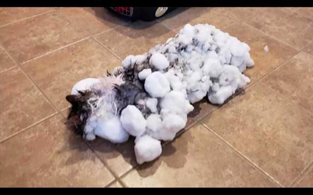 貓咪偷跑出去玩結果被凍僵了,身上都是凍成冰的雪塊命懸一線!_人們