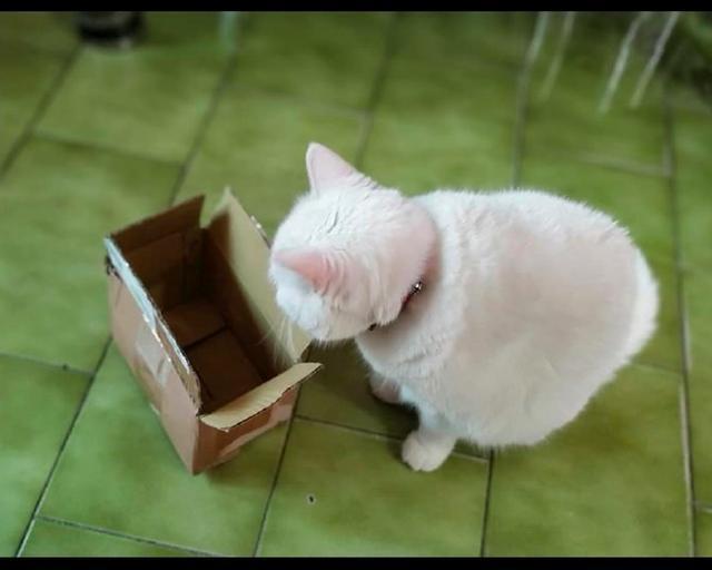 胖貓咪想鉆小盒子里,最后只把頭給塞了進去,莫名有點萌呢!_身體