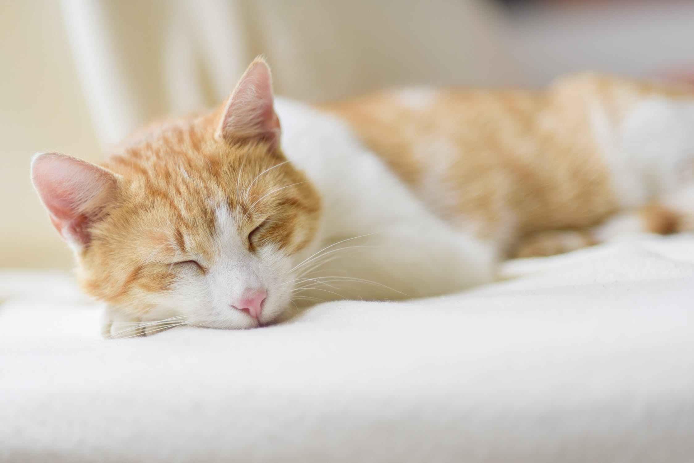 猫尿毒症图片