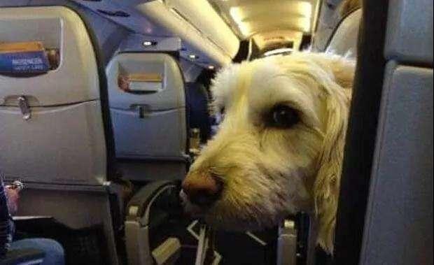 原创            想带狗狗旅游?可惜这5种狗被航空公司拉黑,你还是放弃吧!