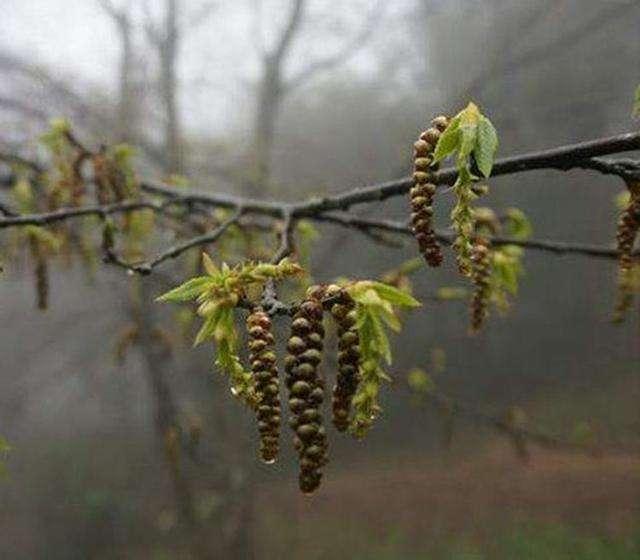 最珍贵的树_结种子的树图片
