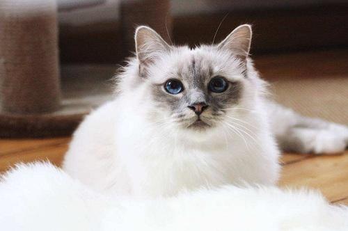 养猫:伯曼猫吃猫罐头怎么喂,伯曼猫吃猫罐头要兑水吗