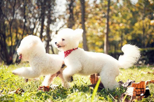 原创            养狗小知识:过年期间,这5种人类食品,也能给比熊犬吃!