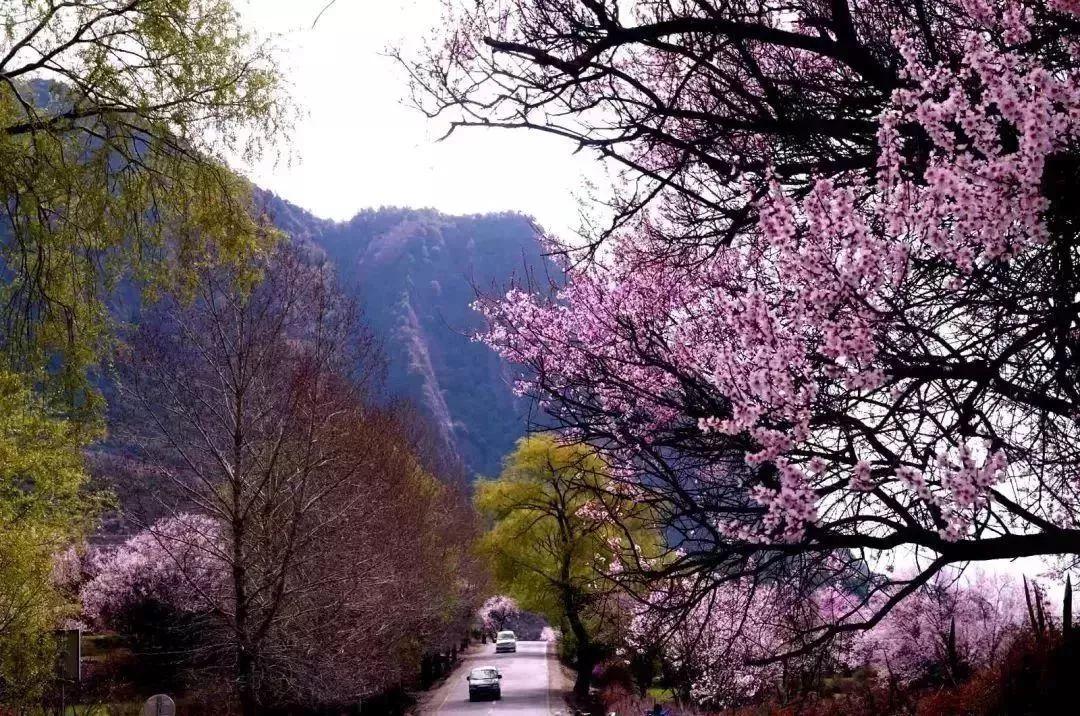 林芝的春天,真美啊!_桃花