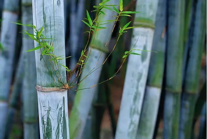 (竹种类)粉单竹