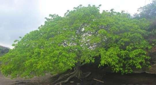 地球上最危险的植物,不能砍伐不能烧,站在树下也会中毒