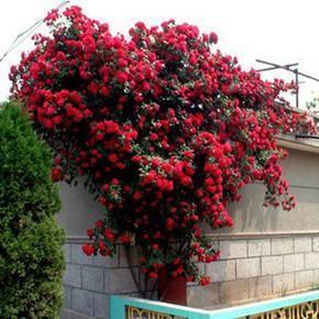 """此花号称""""天下第一香"""",花开200天,见土就活,满院飘香!"""