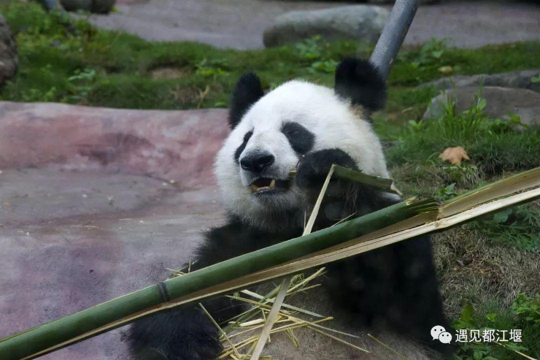 壁纸 大熊猫 动物 1080_720