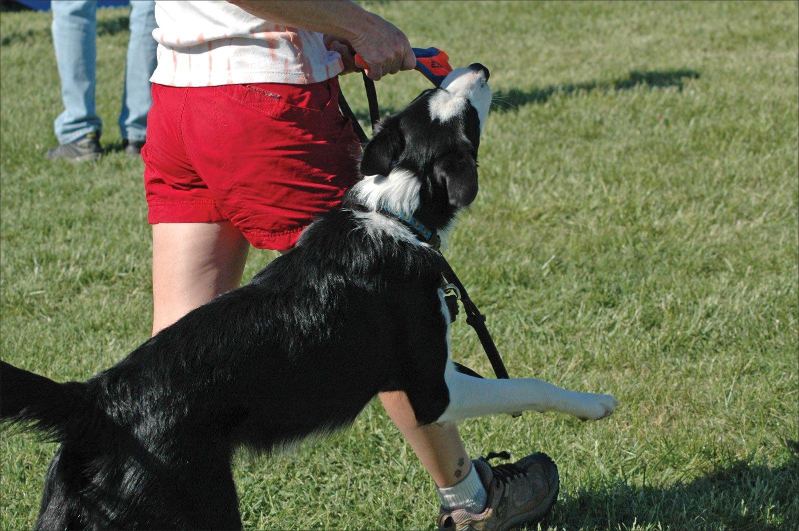 狗狗撕咬牵引绳的4个原因,了解以后,才能对症下药(图2)
