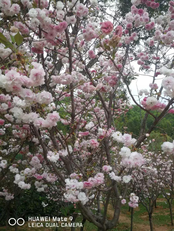 三八节大促销!29.9元抢购观澜湖生态体育园樱花节,不仅有浪漫樱