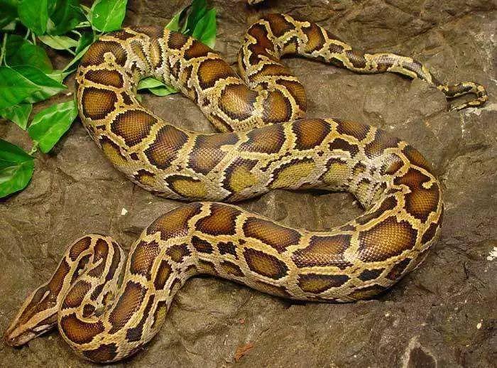 世界最的蛇_全世界最大的蛇,巨蛇泰坦蟒体长15.24米