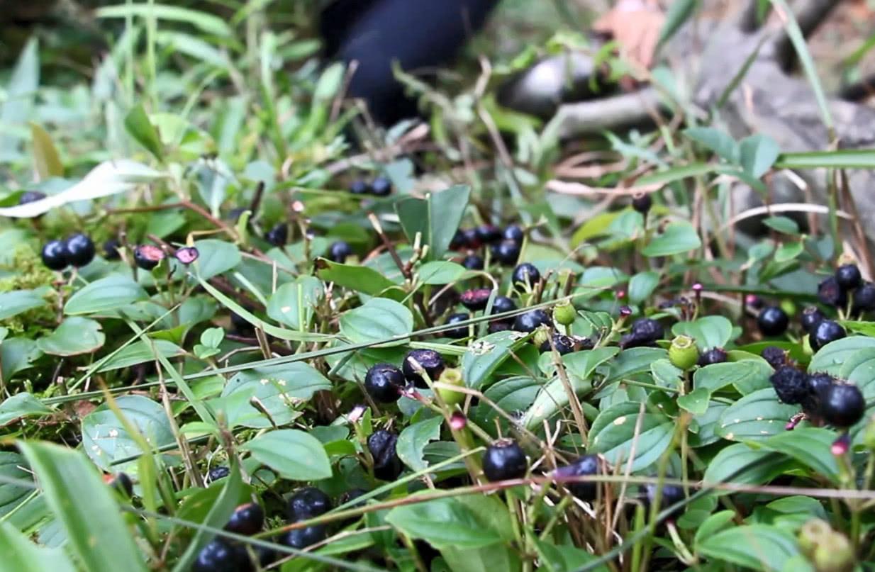 8种农村野果子,吃过这些的现在已经40了吧?