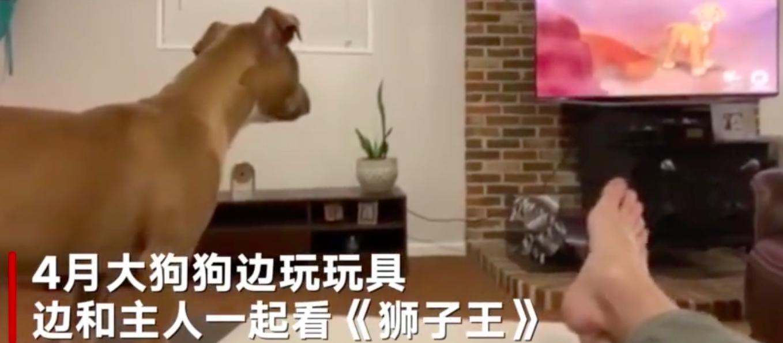 4个月大小狗看《狮子王》哭了!和辛巴一起流泪难过的呜呜叫