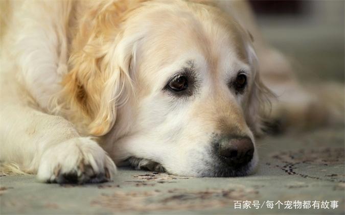 金毛寻回猎犬壁纸