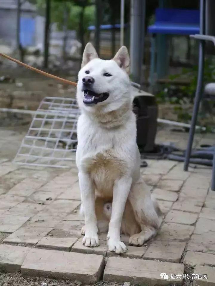 广西猎犬 我们心中永存的 阿黄