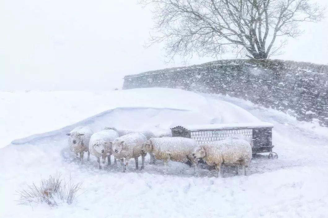 《暴风雪中的羊群》? robert birkby