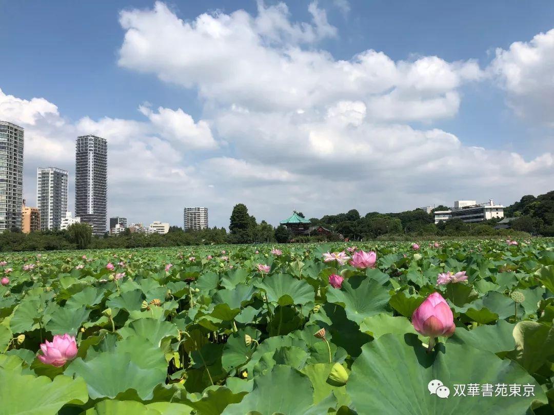 池 蓮 不忍 不忍池の蓮!2019年の上野公園の見ごろや開花時期・キレイに見える時間帯は?