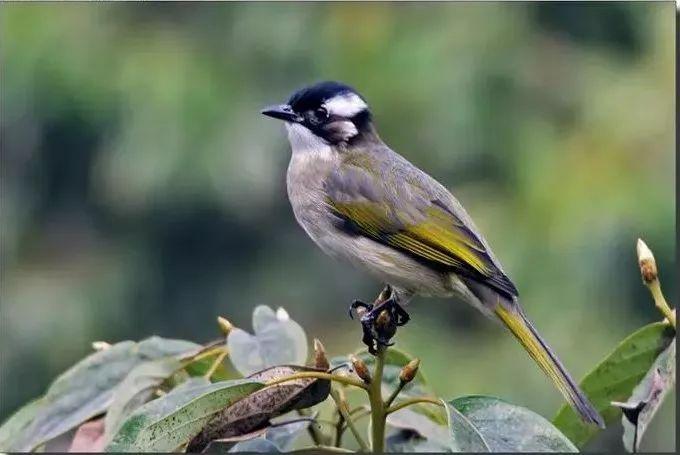 左:白头鹎亚成鸟 右:白头鹎成鸟 图源:niaolei.org