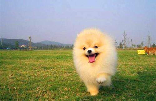 【宠物的养护小妙招】白色博美毛发发黄,白色博美毛发干枯发黄