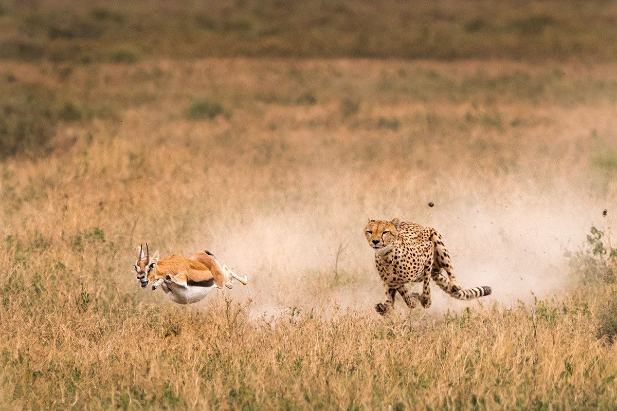 看上去威风凛凛的王猎豹,却因一个原因比普通猎豹生存更艰难