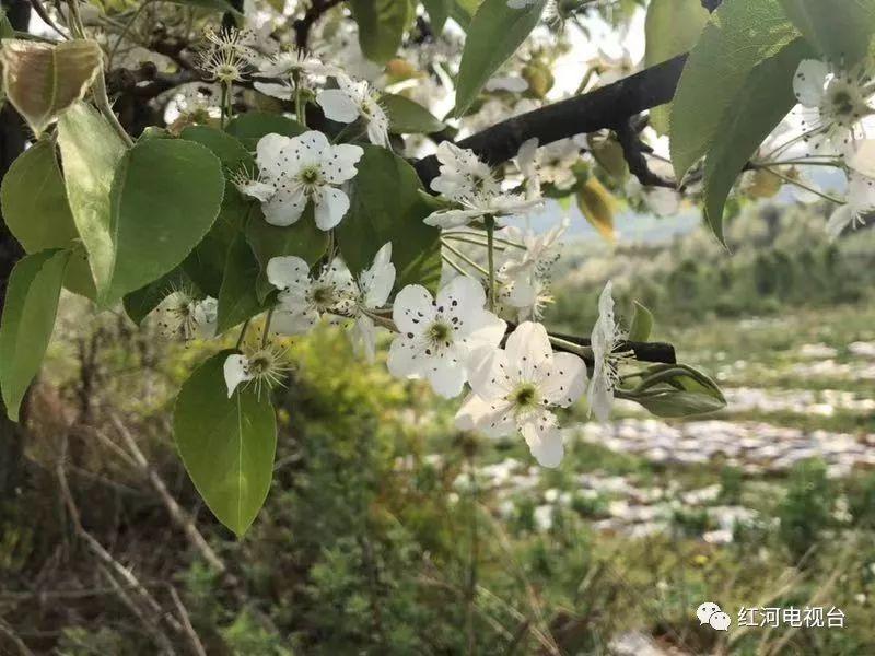 """红河州这些地方三月""""飘雪""""美到令人窒息"""