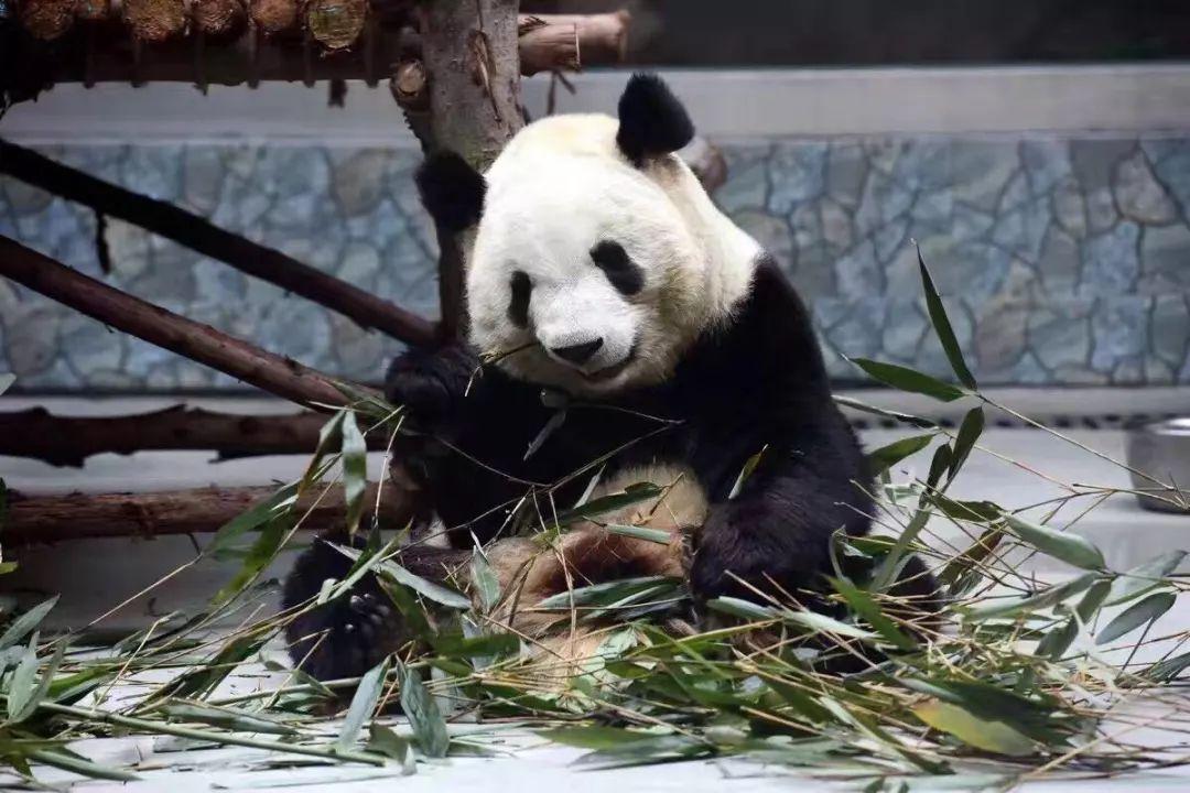 我为动物绿家园 和主播李敏一起,在秦岭野生动物园 遇见熊猫 邂逅羊驼