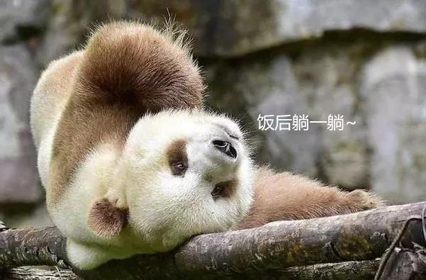 棕色大熊猫被认养发生什么事了?棕色大熊猫被认养令人震惊