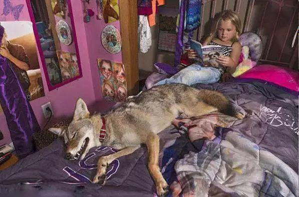 女孩错把狼当做宠物狗养,三年以后,狼却用这样的方式报答了女孩_狗狗 萌宠趣闻 第5张