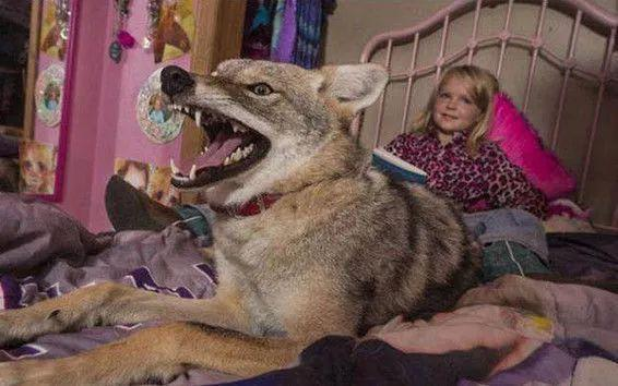 女孩错把狼当做宠物狗养,三年以后,狼却用这样的方式报答了女孩_狗狗 萌宠趣闻 第3张