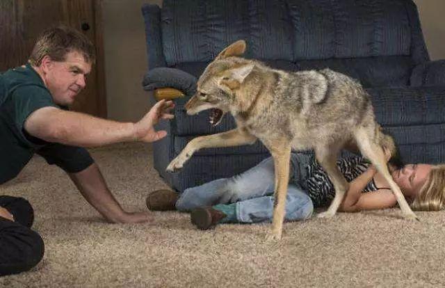 女孩错把狼当做宠物狗养,三年以后,狼却用这样的方式报答了女孩_狗狗 萌宠趣闻 第2张