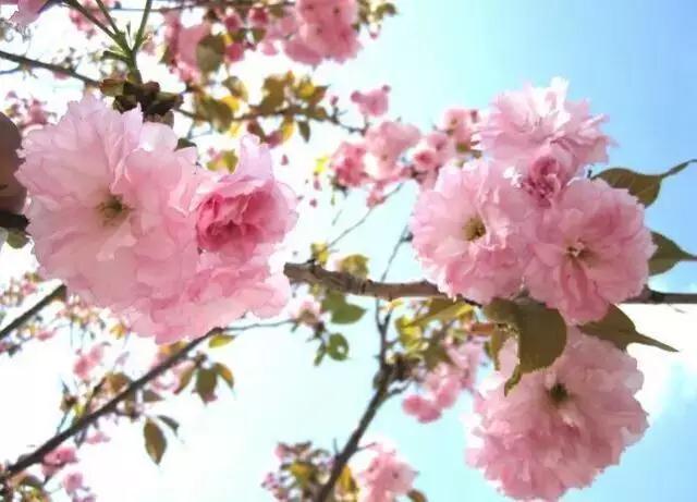 天津市桃花堤在哪_【约~吧】这里又将花开成海!开出天津最美的春天……_地址