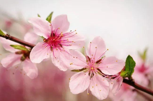 描写桃花的诗句有哪些 赞美桃花的诗句
