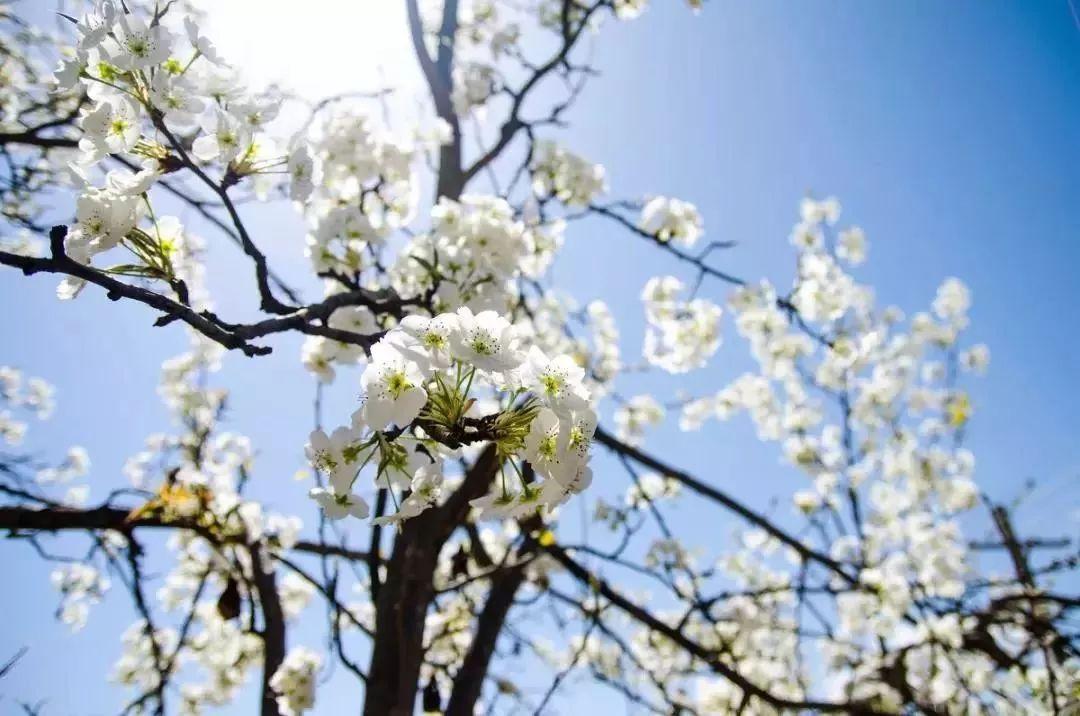 万亩梨花竞放!陕西这座被七彩花海包围的小城,藏着春天最绚烂的秘密...