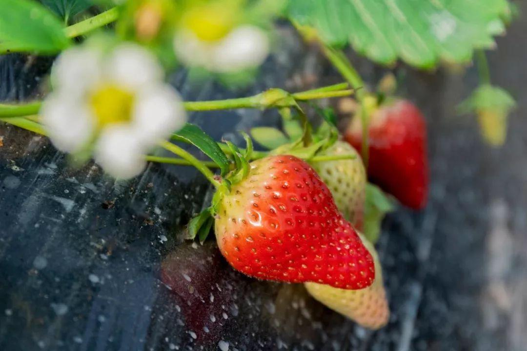 """评出""""草莓""""句容黄蜂白兔十佳吃葡萄怎么办图片"""