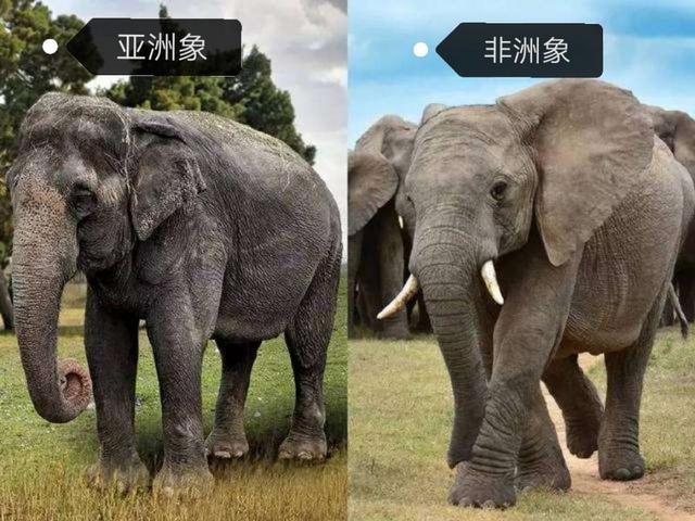 最大的非洲象可达13吨多,但曾有四种大象都更大,都在我国存在过