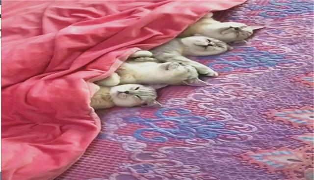 四只银渐层并排睡在一起,掀开被子看到它们睡姿时,直呼太可爱了_猫咪