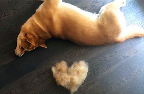 【养宠经验分享】柴犬的毛量少怎么办,如何让柴犬的毛量多一些