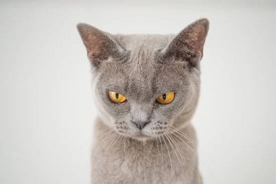 猫咪皮炎症状及治疗方法