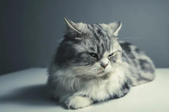 猫咪膀胱炎症状及治疗方法